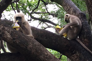 Cute monkeys steal food from tourists in Rishikesh, India,